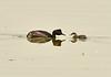Eared grebe and chick, Tule Lake NWR OR (4)