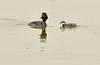 Eared grebe and chick, Tule Lake NWR OR (9)