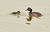 Eared grebe and chick, Tule Lake NWR OR (15)