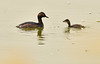 Eared grebe and chick, Tule Lake NWR OR (20)