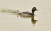 Eared grebe and chick, Tule Lake NWR OR (10)