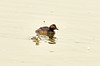 Eared grebe and chick, Tule Lake NWR OR (8)