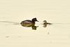 Eared grebe and chick, Tule Lake NWR OR (5)