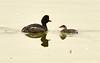 Eared grebe and chick, Tule Lake NWR OR (6)