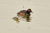 Eared grebe and chick, Tule Lake NWR OR (7)