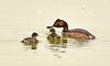 Eared grebe and chick, Tule Lake NWR OR (12)
