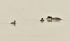 Eared grebe and chick, Tule Lake NWR OR (11)