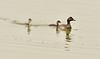 Eared grebe and chick, Tule Lake NWR OR (16)