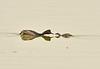 Eared grebe and chick, Tule Lake NWR OR (3)