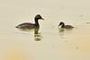 Eared grebe and chick, Tule Lake NWR OR (19)