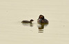 Eared grebe and chick, Tule Lake NWR OR (2)