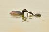 Eared grebe and chick, Tule Lake NWR OR (18)