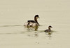 Eared grebe and chick, Tule Lake NWR OR (1)