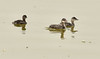Eared grebe and chick, Tule Lake NWR OR (17)