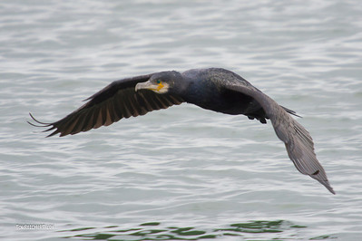 GREAT CORMORANT - POINT LOOKOUT