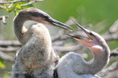 ANHINGA - WACODAHATCHEE WETLANDS