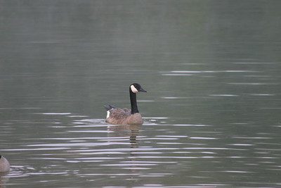 Canada Goose on Park Lake