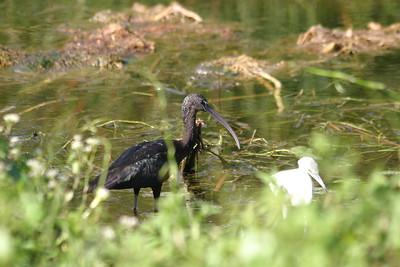 Glossy Ibis -- Immature