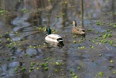 Wild Mallard Duck