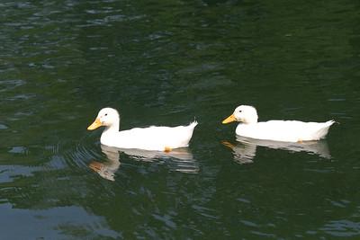 Mallard Duck Babies