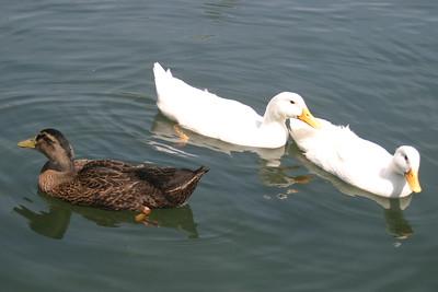 Mallard Duck Mother with Babies