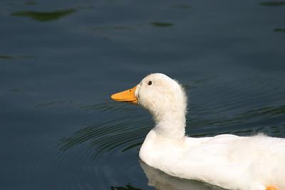 Mallard Duck Baby