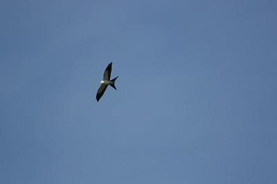 Swallow-Tailed Kite, Honey Island Swamp
