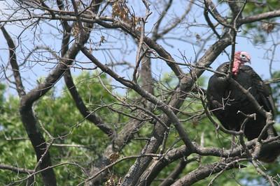 Wild Turkey Vulture
