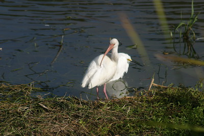 White Ibis Adult with Snowy Egret