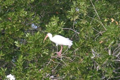 White Ibis Adult