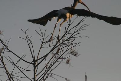 White Ibis -- Immature