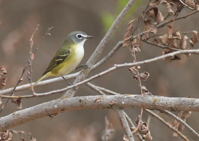 Blue-headed Vireo Norman Co MN IMG_1856