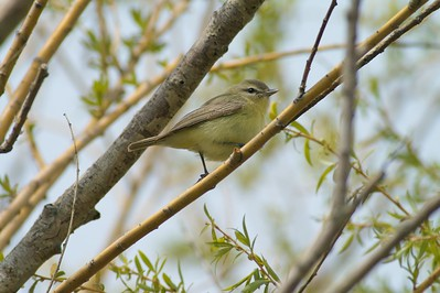Philadelphia Vireo Park Point, Duluth, MN IMG_000217