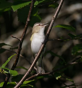 Red-eyed Vireo [July; Rock Pond, Duluth, Minnesota]