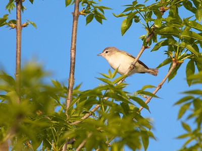 Warbling Vireo near swimming beach Blue Mounds State Park Rock Co MN IMG_0160
