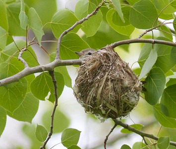 Warbling Vireo nest Indian Pt Campground Duluth MN IMG_1980