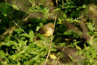 The light eye of the White-eyed Vireo is an easy field mark to pick out [April; High Island, Texas]