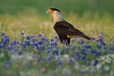 Related to vultures, Crested Caracaras are part of the clean up crew in South Texas  [April; Sick Dog Ranch near Alice, Texas]