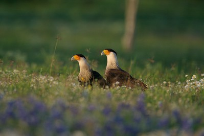 Two Crested Caracaras feed on a dead Bobcat amongst Texas Bluebonnets [April; Sick Dog Ranch near Alice, Texas]Related to vultures, Crested Caracaras are part of the clean up crew in South Texas  [April; Sick Dog Ranch near Alice, Texas]