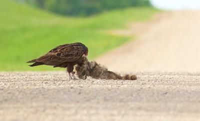 Turkey Vulture eating roadkill Raccoon Rock County MN IMG_0351 CR2