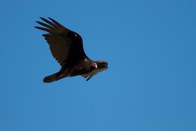 Turkey Vulture near Interpretive Center Blue Mounds State Park Rock Co MN IMG_9904 CR2