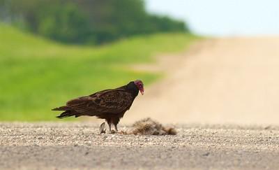 Turkey Vulture eating roadkill Raccoon Rock County MN IMG_0342 CR2