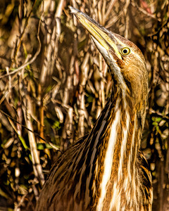 BITTERN HARD TO SPOT - HIDING IN GRASSES