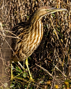 VERY CAUTIOUS AMERICAN BITTERN
