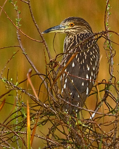 LIMPKIN in the GLADES