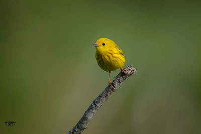 YELLOW WARBLER - STERLING FOREST