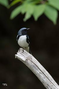 BLACK THROATED BLUE - WALTON