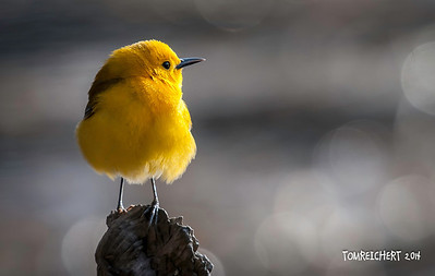 PROTHONOTARY WARBLER - FUCHS POND