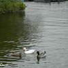 Diverse Ducks
