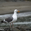 Seagull Sideview